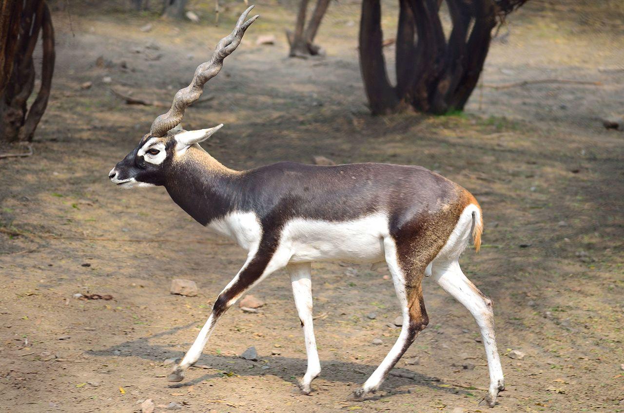 Come Riconoscere l'Antilope Cervicapra